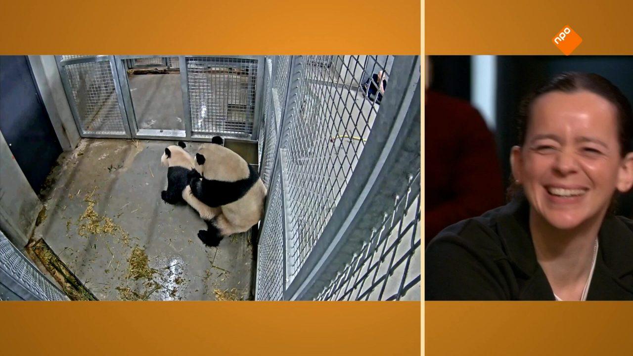 Wereldprimeur in Ouwehands Dierenpark: De Chinese reuzenpanda's hebben gepaard